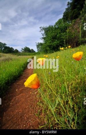 Poppy flowers by a trail in Northern California near Auburn - Stock Photo