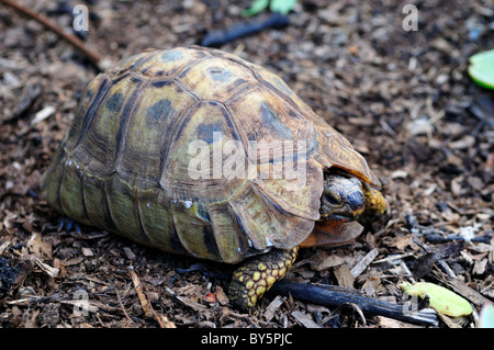 A leopard tortoise. South Africa. - Stock Photo