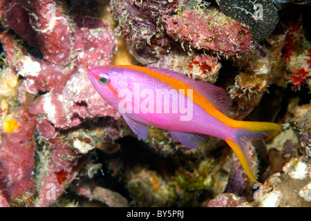 Female Purple Anthias, Pseudanthias tuka - Stock Photo