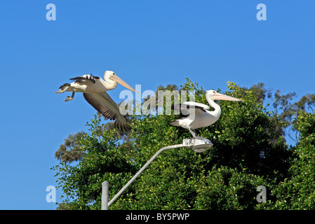 Two Australian Pelicans, Pelecanus conspicillatus, one standing on top of a streetlight, with a second flying closely - Stock Photo