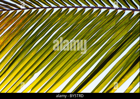 Coconut palm tree frond pattern. India - Stock Photo