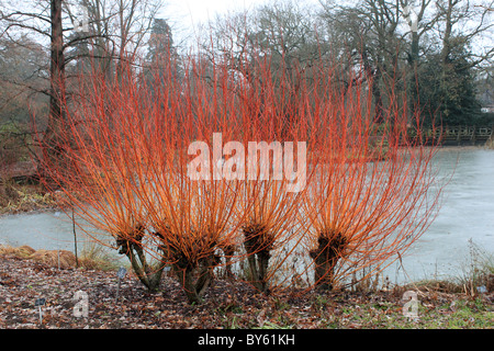 Colourful willow stems by the frozen lake in Seven Acres, RHS Garden Wisley, Surrey, England, Great Britain, UK, - Stock Photo