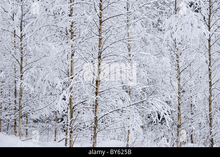 Frost Covered Birch Trees in Snowy Hollola Finland - Stock Photo