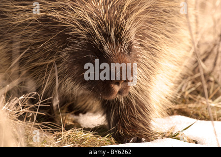 Stock photo of a North American porcupine walking across the grass in the winter. - Stock Photo