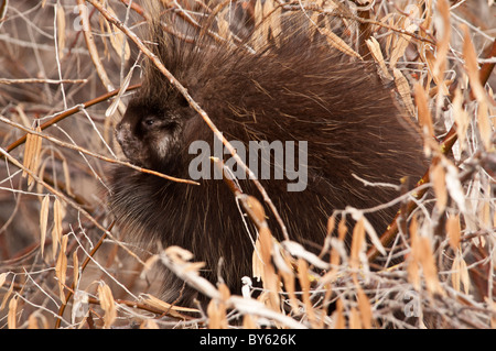 Stock photo of a North American porcupine resting in a tree. - Stock Photo