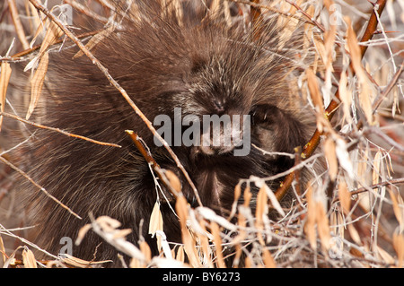 Stock photo of a young porcupine scratching his head with his back foot. - Stock Photo