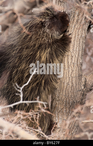 Stock photo of a North American porcupine climbing a cottonwood tree. - Stock Photo