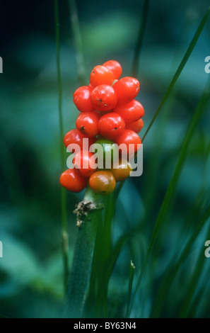 Lords and ladies, Arum maculatum, also known as Jack in the Pulpit, cuckoo pint, - Stock Photo