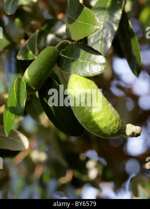 Pineapple Guava or Guavasteen, Acca sellowiana syn Feijoa sellowiana, Myrtaceae. Unripe Fruit. - Stock Photo