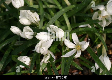 Starflower, Ipheion sessile, Liliaceae, Chile and Uruguay, South America. Syn. Tristagma sessile. - Stock Photo