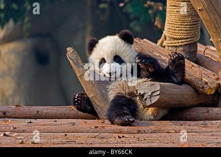 Young Giant Panda cub at Chengdu Research Base of Giant Panda Breeding, China. JMH4379 - Stock Photo
