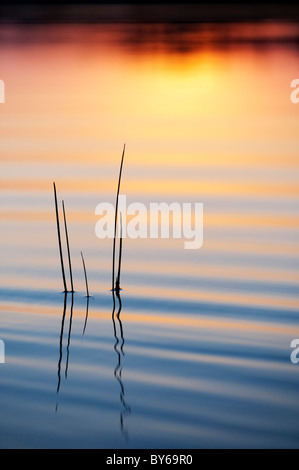 Sunset silhouette grass stem reflecting in a rippling pool. Andhra Pradesh, India - Stock Photo