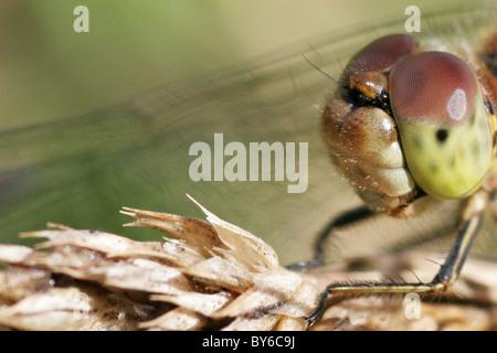 Macro Shot of a Female Common Darter Dragonfly (Sympetrum striolatum). - Stock Photo