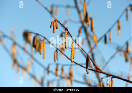 Birch buds and blue sky on a sunny day. - Stock Photo