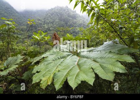 Gunnera in the mountainous rainforest of Tapanti National Park, Gunnera insignis, Costa Rica - Stock Photo
