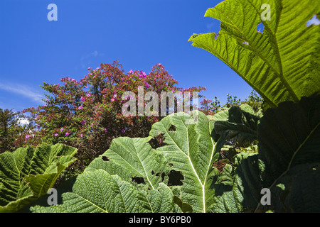 Gunnera and flowering bush in the mountainous rainforest of Volcano Poas National Park, Gunnera insignis, Costa - Stock Photo