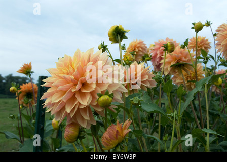 Beautiful Yellow Dahlias in the Garden - Stock Photo