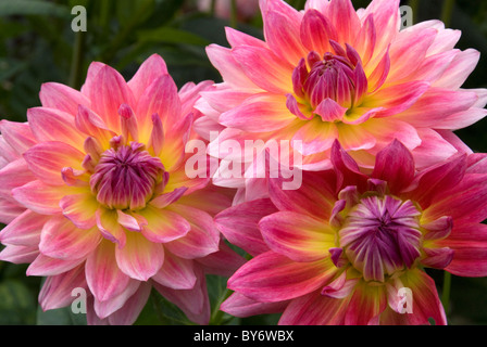 Three Beautiful Dahlia Flowers in the Garden - Stock Photo