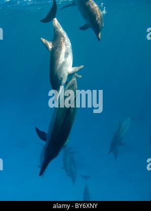 Spinner Dolphins, Stenella longirostris, Spinnerdelfine, milling at Shaab Marsa Alam, Egypt, underwater group - Stock Photo