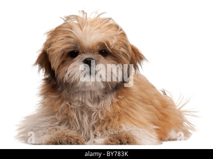 Shih-tzu puppy, 6 months old, lying in front of white background - Stock Photo
