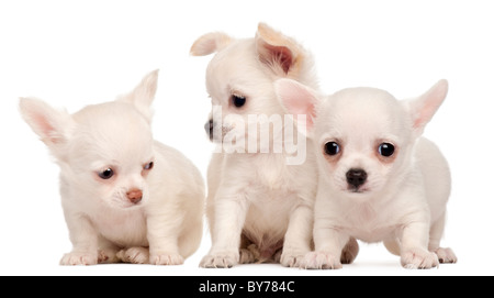 Three Chihuahua puppies, 2 months old, in front of white background - Stock Photo