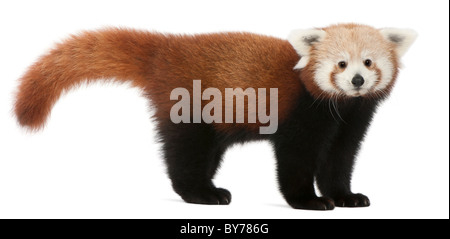Young Red panda or Shining cat, Ailurus fulgens, 7 months old, in front of white background - Stock Photo