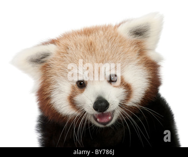 Close-up of Young Red panda or Shining cat, Ailurus fulgens, 7 months old, in front of white background - Stock Photo
