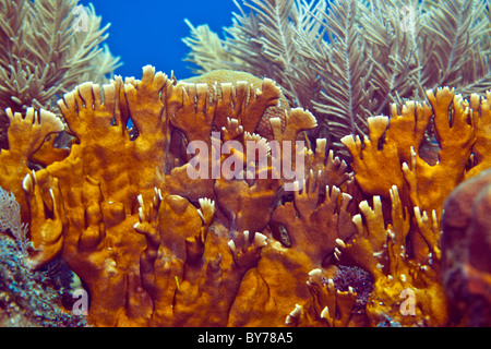 Close up image of Blade fire coral - Stock Photo