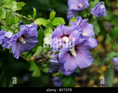 Blue Hibiscus, Hibiscus syriacus 'Blue Bird', Malvaceae, Asia. Aka Rose of Sharon, Shrub Althea, and Rose of Althea. - Stock Photo