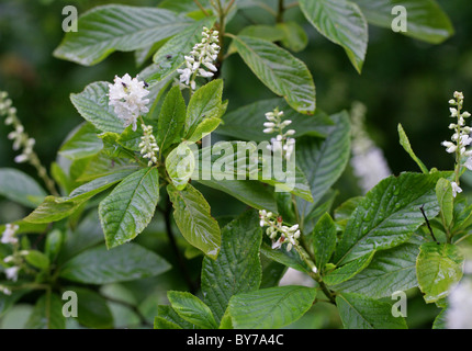 Sweet Pepperbush, Anne Bidwell or Summersweet, Clethra alnifolia, Clethraceae. Eastern North America. - Stock Photo