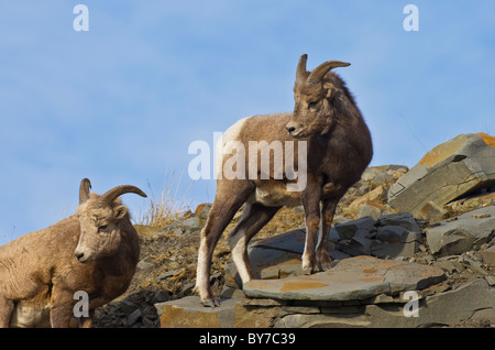 Two female Bighorn Sheep standing on a rock ledge - Stock Photo
