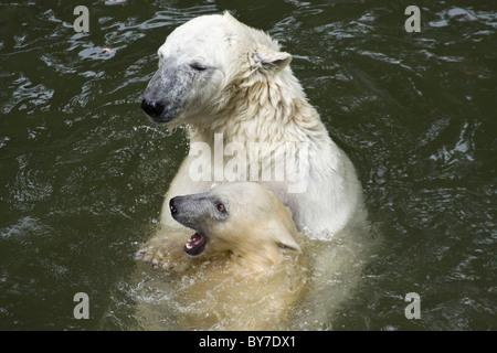 Polar Bear with kid (Ursus maritimus, Thalarctos maritimus) in water - Stock Photo