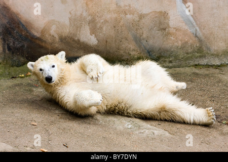 Kid of Polar Bear (Ursus maritimus, Thalarctos maritimus) - Stock Photo
