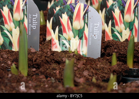 Tulip - Tulipa Johan Strauss hardy spring flower grown from bulbs - Stock Photo