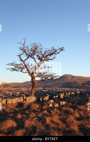 Hawthorn Tree and the Mountain of Ingleborough in Evening Light From Twistleton Scars Yorkshire Dales UK - Stock Photo