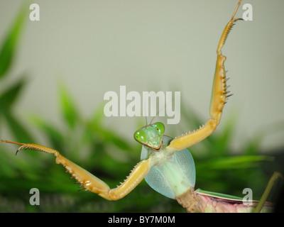 Giant Shield Praying Mantis - Stock Photo