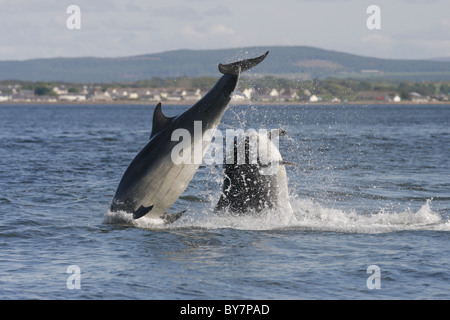 Two adult Bottlenose Dolphins (Tursiops truncatus) breaching in the Moray Firth, Scotland, UK - Stock Photo