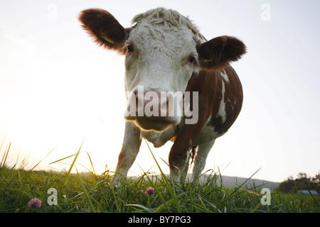 Germany 20101015, cow pasture © Gerhard Leber - Stock Photo