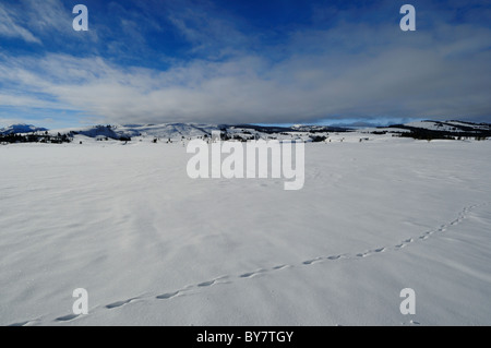 Animal tracks in snow. Yellowstone National Park, Wyoming, USA. - Stock Photo