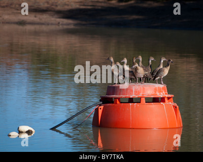 Plumed Whistling Ducks (Dendrocygna eytoni) on buoy - Stock Photo