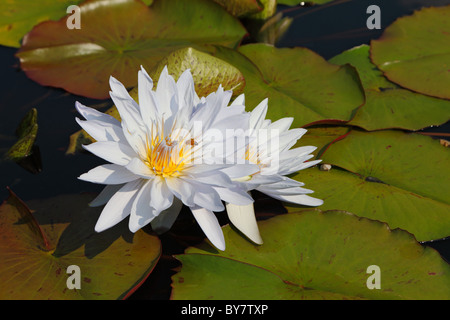 Two white water lilies in large coriaceous leaves on a sunny day - Stock Photo