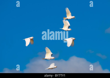 Little Corellas (Cacatua sanguinea) in flight - Stock Photo