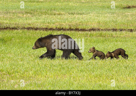 Grizzly mother with cubs in Yellowstone National Park spring meadow.