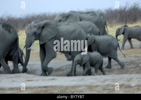 Motion-blurred picture of a herd of running African Elephant (Loxodonta africana), Savuti National Park, Botswana - Stock Photo