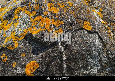Yellow orange lichen (xanthoria parietina) grows on rock outcropping near the sea in Maine, USA, North America - Stock Photo