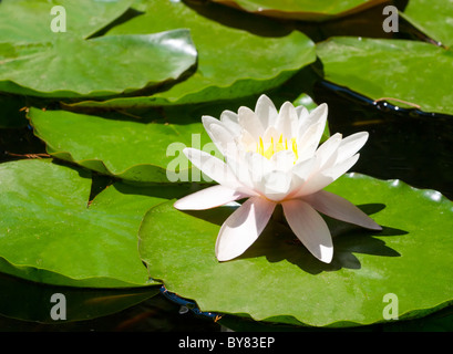 Beautiful blooming pink water lily in the pond - Stock Photo