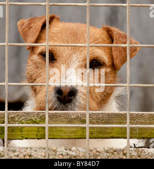 A jack russell terrier dog in a cage waiting for his owner - Stock Photo