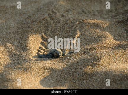 Baby Turtle and tracks - Stock Photo