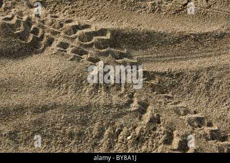 Baby Turtle tracks - Stock Photo