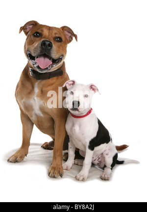 Staffordshire bull terrier Two dogs sitting in studio UK - Stock Photo